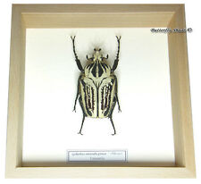 REAL MOUNTED FRAMED BEETLE - Goliathus orientalis preissi - WHITE GIANT BEETLE 2