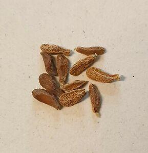 Pachypodium horombense - 10 Samen FRISCH von 2020