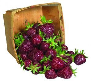 "Alpine Strawberry /""September Surprise/"""