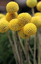 🌼 30 Samen Trommelstöckchen Craspedia globosa Trommelstock Trommelschlägel