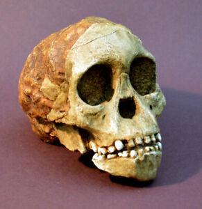 """Australopithecus Africanus """"Taung Child"""" Skull Replica."""