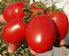 Tomato Rio Grande Heirloom 50 Fresh Seeds Super Yummy! Free Ship !