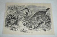 1885 magazine engraving ~ THE PRAIRIE DOG