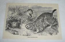 1885 magazine engraving ~ The Prairie Dog