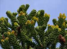 Araucaria araucana (7 graines/seeds)