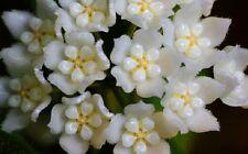 Hoya-Rarität Jungpflanze Thomsonii, blühfreudig + pflegeleicht, nur bei mir :-)!
