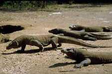 789009 Komodo Dragon Komodo Parque Nacional Indonesia A4 Foto Impresión