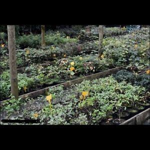 Straordinaria Offerta Prebonsai piante di anni 3/4 per bonsai