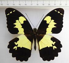 Papilio euchenor ssp.euchenor M ex Irian Jaja, Indonesien  No.30