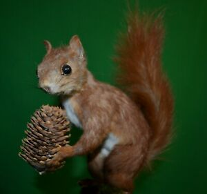 Stuffed red squirrel with a pine cone Taxidermia table stand