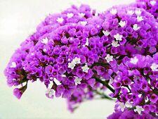 Propri Carmine-Sea Lavender-LIMONIUM SINUATUM - 130 Semi