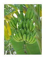 Chinesische Yunnan Banane -Musa yunnanensis- 10 Samen