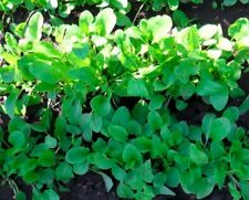 100 Sorrel Rumex Acetosa Grass Herb Seeds Heirloom Edible Garden Plants Decor