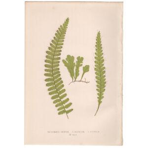 Lowe Exotic Ferns antique 1872 botanical print, Pl 10 Trichomanes Crispum