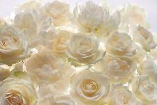 Vlies Fototapete weiße Rosen 368x248 cm Vliestapete Wandtapete Blumen Rose