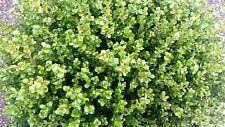 5 PZ Pianta di Buxus rotondifolia pianta di bosso Pianta da Siepe vaso 7