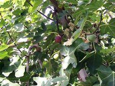 FIG TREE BROWN TURKEY Sweet Edible Fruit Hardy Ficus Carica 2ft 4L Pot UKNursery