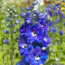 DELPHINIUM deep BLUE 100 SEEDS organic perennial attracts hummingbirds +gift