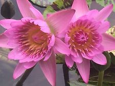Tropical water lily, Evelyn Rending whole live plant