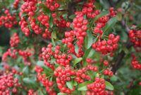 Feuerdorn - Pyracantha coccinea - Firethorn 100+ Samen - Saatgut - Seeds Graines