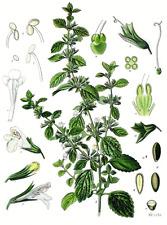 250 semillas de Ajedrea (Satureja montana), seeds, llavors