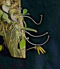 Bulbophyllum pumilio. Mounted miniature orchid in flower