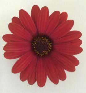 Osteospermum Erato® 'Cranberry' Summer Plug Plants Pack x6