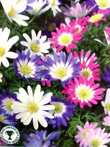 ANEMONE BLANDA DAISY MIXED GARDEN BULBS/CORMS/TUBER PERENNIAL SPRING FLOWERING