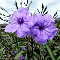 10 Live Clippings! Mexican Petunia Starter pack Perennials - Vibrant - Organic