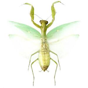 Hierodula patellifera green praying mantis Indonesia mounted wings spread