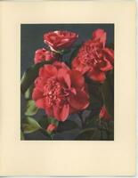 VINTAGE PINK CAMELLIA THEACEAE FLOWERS BOTANICAL LITHOGRAPH NOTE CARD ART PRINT