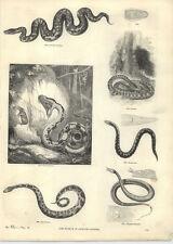 1854 incisioni BOA CONSTRICTOR Port Natal PYTHON BENGALA Eryx Serpenti