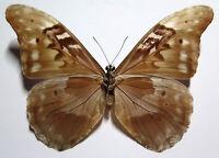 Morpho rhetenor augustinae male *Venezuela*