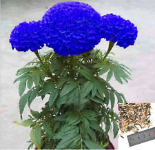 200Pcs Maidenhair Rare Blue Marigold Seeds Home Garden Edible Flower Plant Seeds