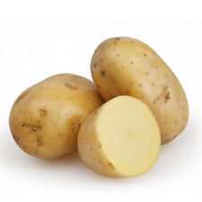 Seed Potatoes Cabaret Main Crop Early 20x Allotment Grow Your Own Top Quality