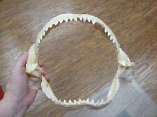 """(sj30-200A) 11"""" BULL SHARK B grade jaw jaws teeth taxidermy science love sharks"""