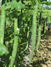 Snake Gourd Seeds Trichosanthes anguina Chichinda Seed Thai Snake Serpent Padwal