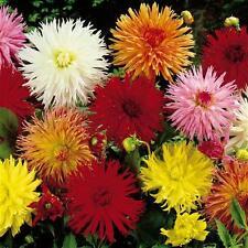 Dahlia Cactus Flower Seed Mix Annual Easily Grown Good Cut Flower Long Vase Life