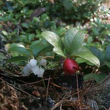 Wintergreen -Teaberry ... 40 Seeds