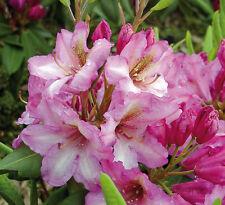Rhododendron großblumige Hybride Duke of York 30-40cm Frühlingsblüher