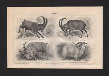 Lithografien 1909: Ziegen. Alpensteinbock Bezoar-Schrauben-Angora-Ziege