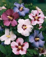 Rose of Sharon Hibiscus Syriacus 2 tree/shrubs 10-14 inches and is a 2+ year old