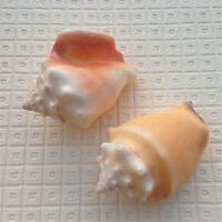 6-10 cm Natural Cochineal Shells Wedding Beach Fish Tank Nautical Crafts Decor