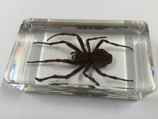Spider (Wasp Spider) Insect Specimen in Lucite