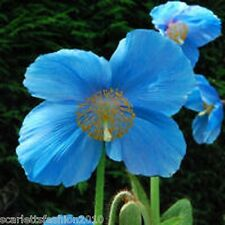 MECONOPSIS  LINGHOLM  blue himalayan poppy easy grow shade lover 25 seeds