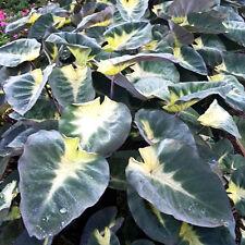 Elephant Ear - Tropical Storm Colocasia esculenta Live Plant