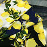 Satin + cotton Fabric Lemon Printed Poplin for Sewing DIY Craft Clothing Fabric