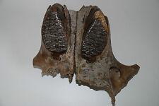 Woolly Mammoth Upperjaw (FXS 599)