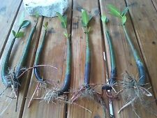 6 Seeds and 6 Plants! Aquarium Red Mangroves Saltwater Freshwater