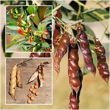 Cajanus cajan 200 Seeds, Pigeon pea, Angola pea, Congo pea, Seeds From Thailand